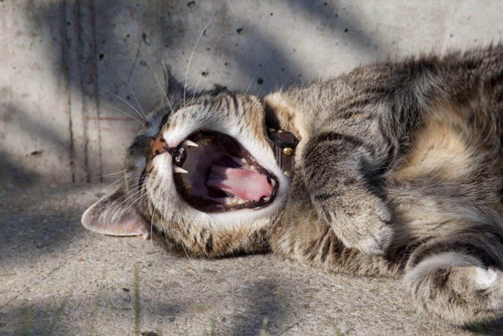 あくびをしている猫の画像