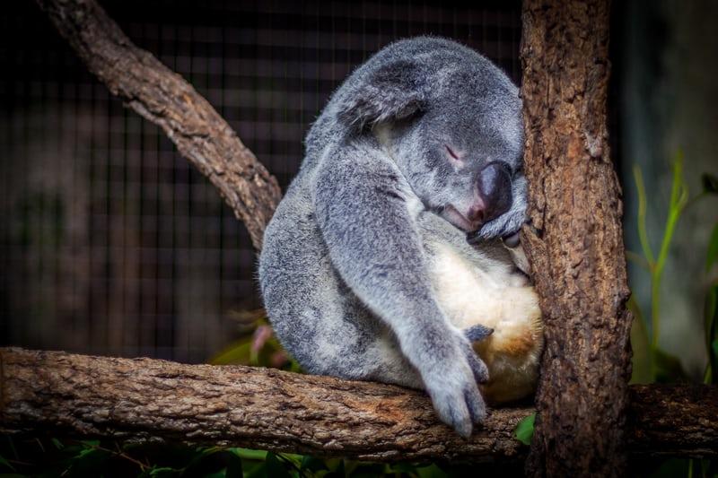 寝ているコアラの画像