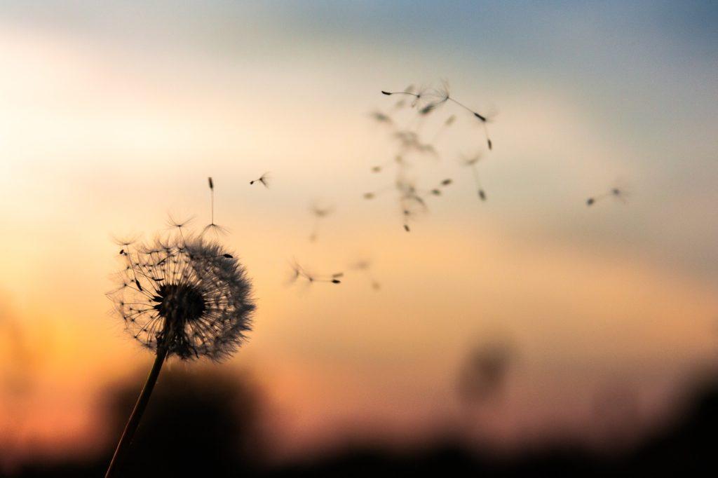 風で舞うタンポポの画像